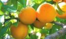 Условия для выращивания абрикоса в средней полосе