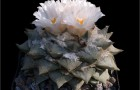 Ариокарпус ретузус