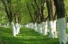 Беление стволов деревьев