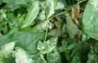 Белый налет на листьях флоксов