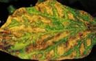Bepтициллёз баклажана