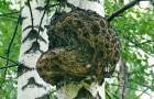Березовый гриб, или чага