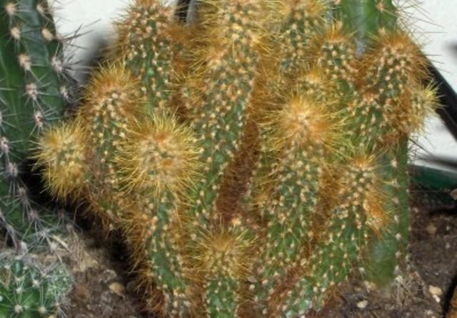 Бергерокактус эмори