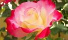Капризные чайно-гибридные розы