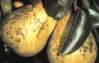Черный налет на листьях груши
