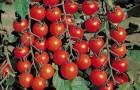 Черри томаты. Известные сорта и их агротехника?