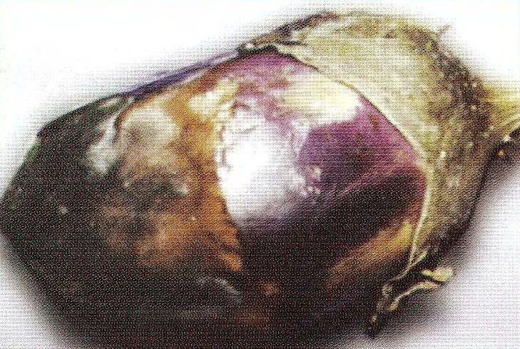 Чёрная плесень плода баклажана