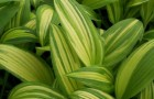 Длинные коричневые полосы на листьях лилейника
