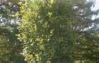 Дуб черешчатый
