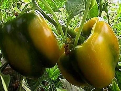 Два урожая за лето