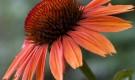 Эхинацея украсит сад во второй половине лета