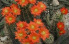 Эхиноцереус полиакантус
