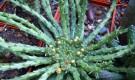 Эуфорбия капут-медузе