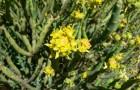 Эуфорбия мауританика