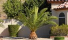 Если у финиковой пальмы опустились листья