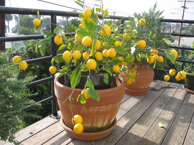 Формировка кроны комнатного лимона