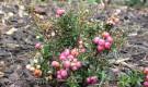 Какие декоративные растения предпочитают кислые почвы?