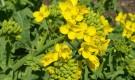 Какие культуры используют на огороде в качестве зеленого удобрения?