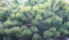 Как размножают хвойные растения?