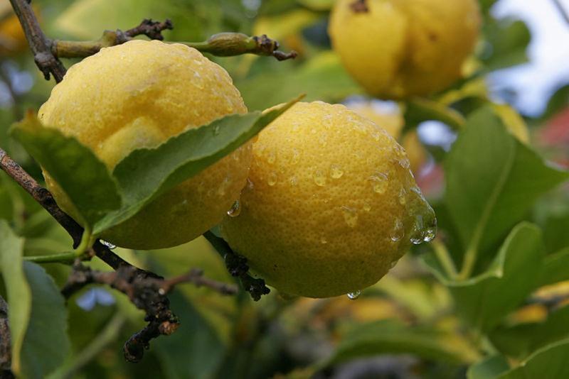 Интродуцированный сорт лимона