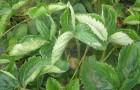 Использование сорняков для борьбы с мучнистой росой