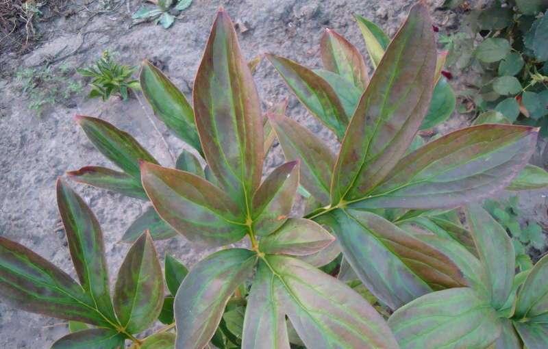 Как бороться с бактериальной пятнистостью листьев пиона?