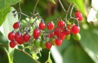 Как готовят настой инсектицидных растений?