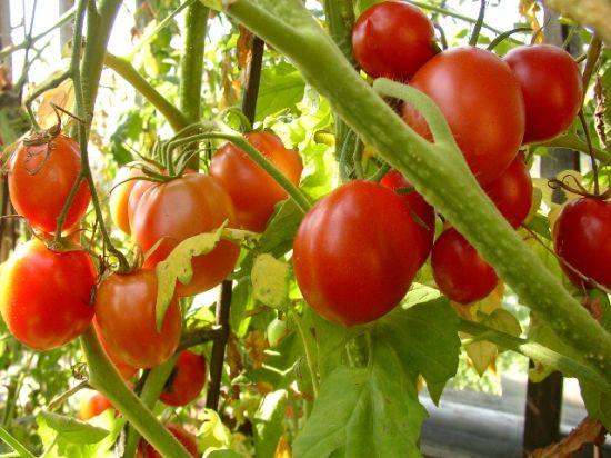 Как по внешнему виду томатов определить, какие удобрения следует давать при подкормке?