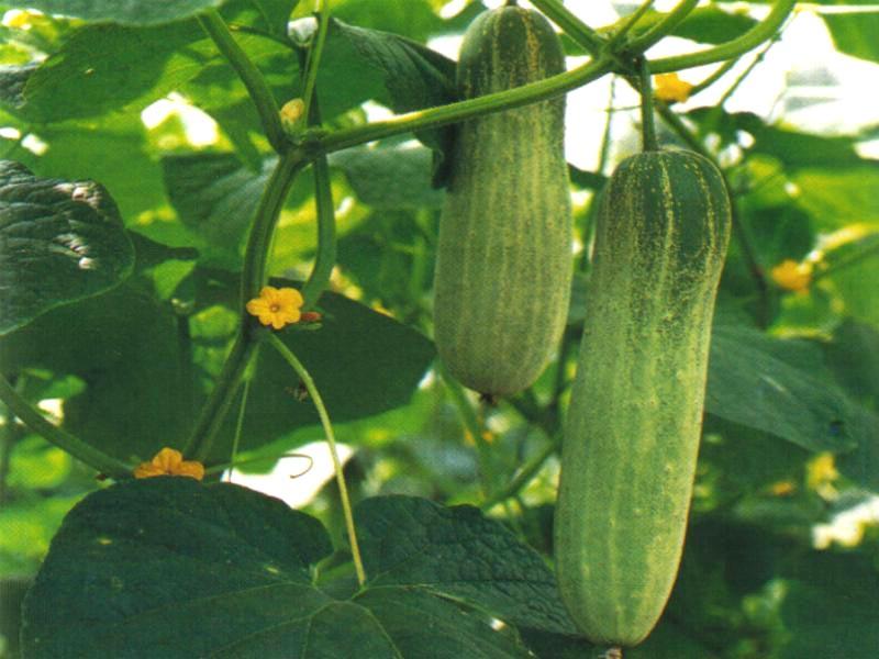 Как подготовить к посеву семена огурца?