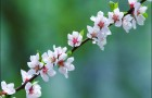 Как подготовить ветки яблони и вишни к цветению зимой в комнатах?