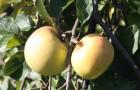 Как приготовить яблочный сыр?
