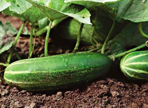 Как сохранить урожай свежих огурцов?