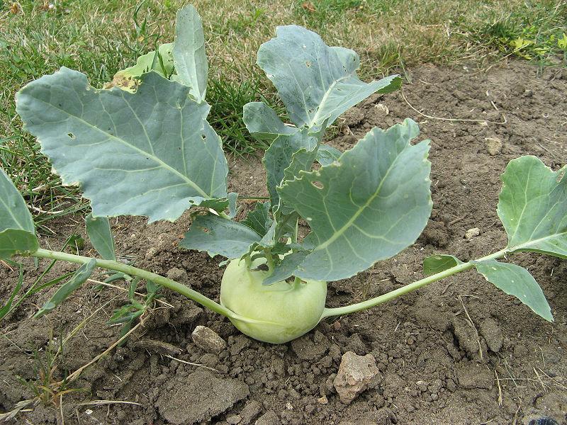 Как выращивать кольраби