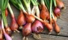 Как выращивать лук в Подмосковье