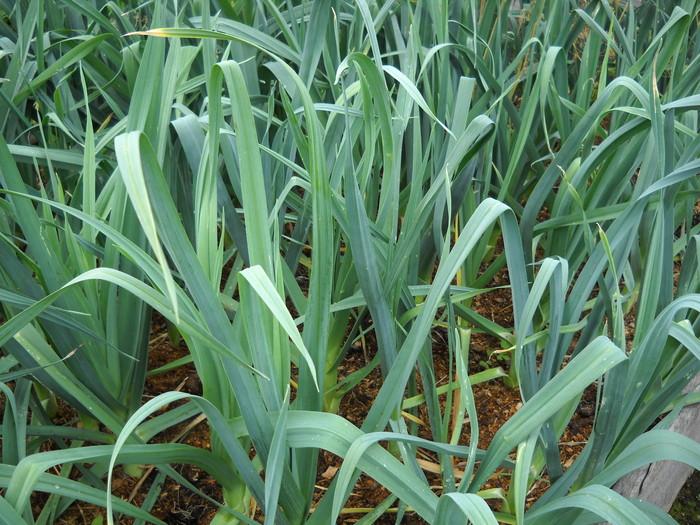 Как вырастить лук-порей?