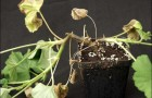 Как защитить комнатные растения от корневой гнили?