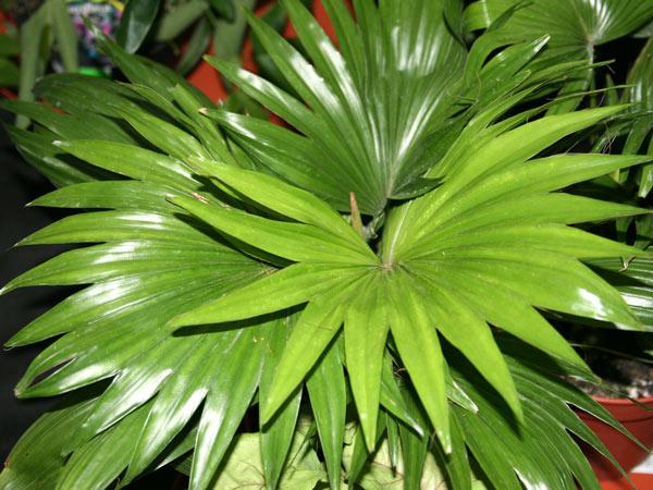 Какая комнатная пальма самая красивая?