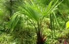 Какая пальма устойчивее других к холоду?