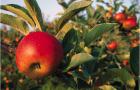 Какие летние сорта яблони рекомендуют выращивать в Подмосковье?