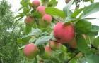 Какие осенние сорта яблони можно выращивать Подмосковье?