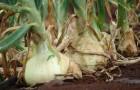 Какие почвы требуются для выращивания репчатого лука?