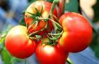 Какие сорта томата самые морозостойкие?