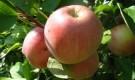 Какие зимние сорта яблони успешно выращивают в Московской области?