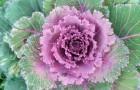 Капуста - растение длинного дня
