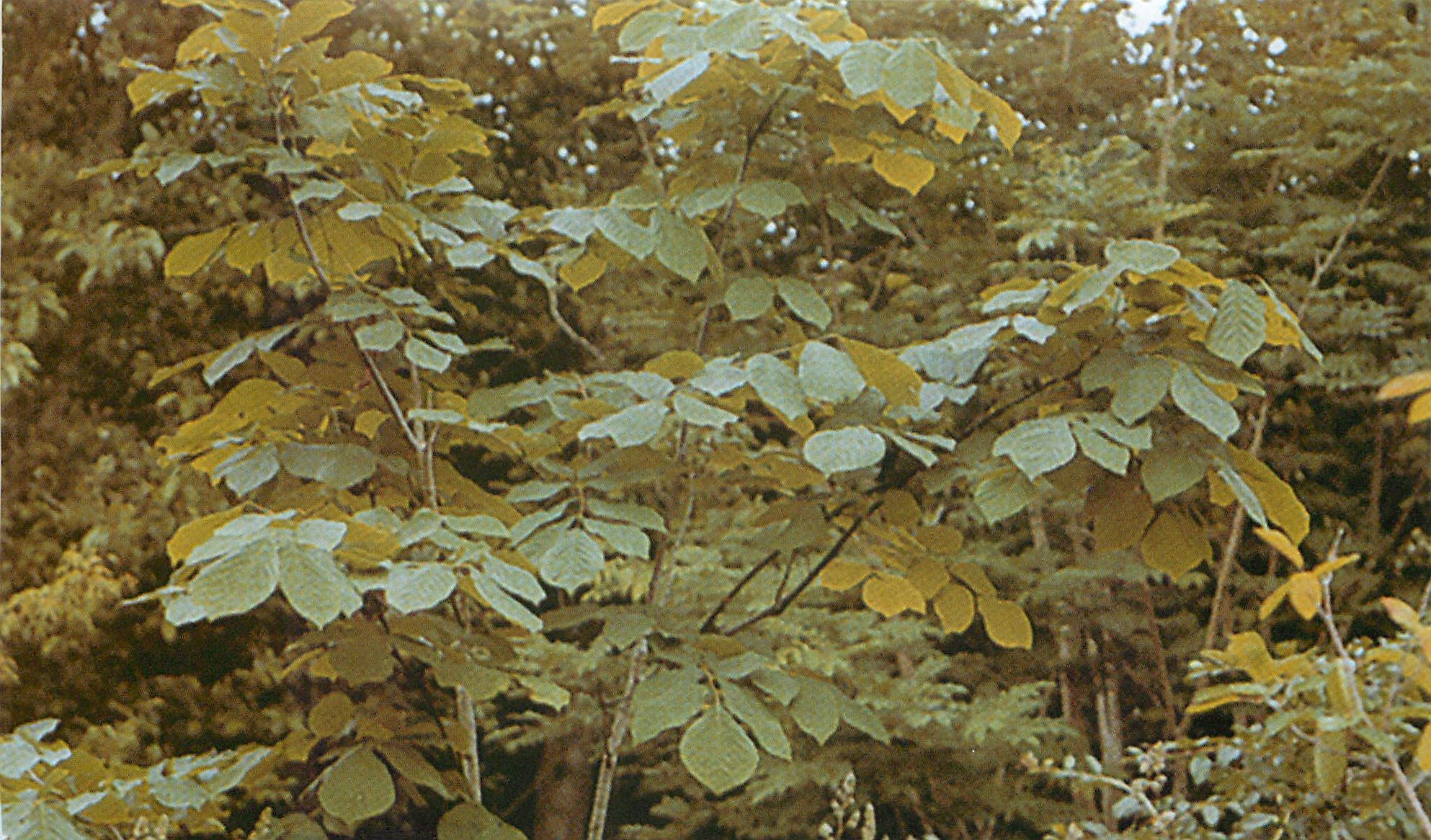 Кладрастис желтый