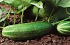 Когда огурцы сеют в открытый грунт?