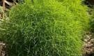Какие однолетние растения выдерживают стрижку?