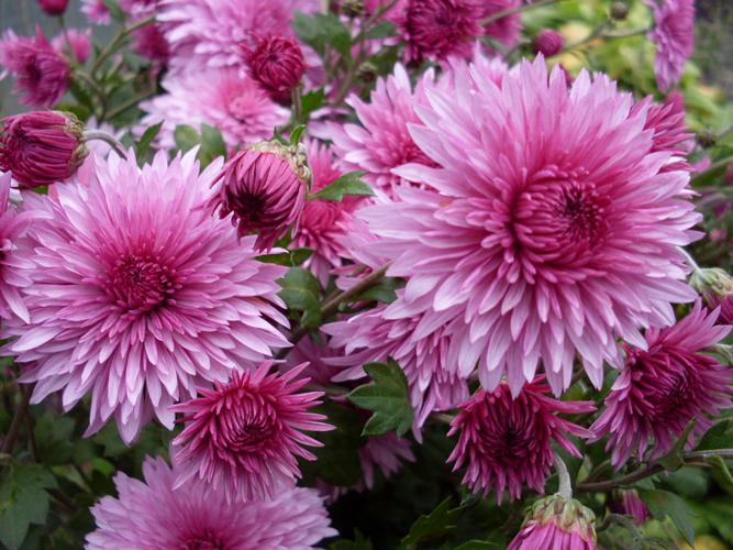 До октября цветут различные сорта