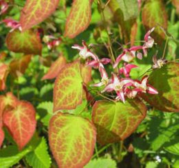 Коричневая окраска листьев горянки