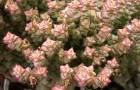 Крассула рупестрис